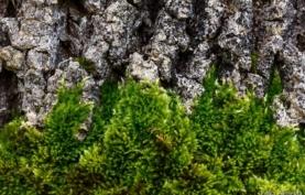 Plantas Autóctones na Serra de Sintra: Musgo Sedoso Penado